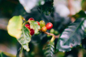 doka estate costa rica coffee tour plantation